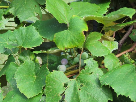 Are they Wild Grapes if they are growing in a garden on purpose? (8/23)